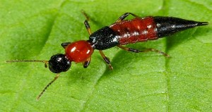 Đặc điểm nhận dạng kiến ba khoang để sử dụng dịch vụ diệt kiến