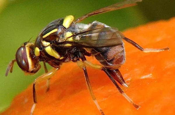 Hãy mua thuốc diệt ruồi với nguồn gốc xuất xứ rõ ràng